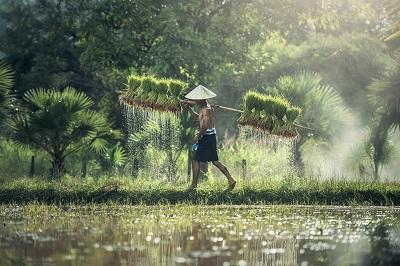 Rice is the predominant crop in Cambodia and most rice fields are rain-fed and thus vulnerable to climate change (source: Max Pixel)